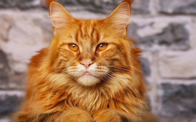 maine coon, cat, ginger