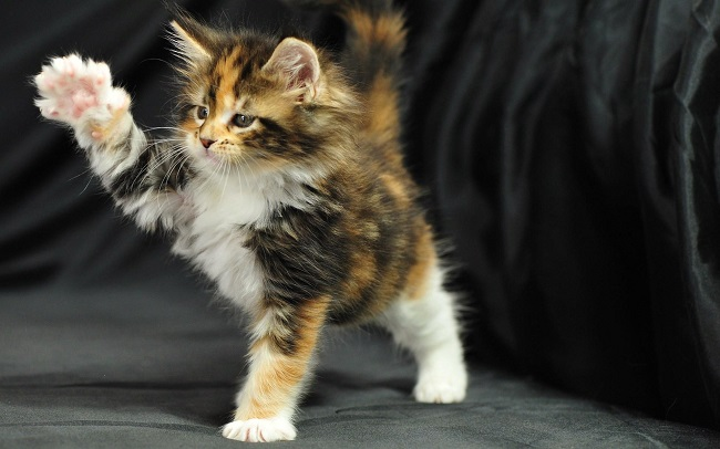 59 Most Popular Maine Coon Cat Names Tabby Norwegian Forest Cat