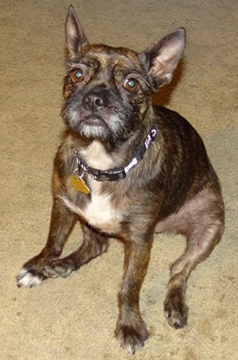14 Unreal Boston Terrier Cross Breeds You Have To See To ... Yorkie And Bulldog Mix