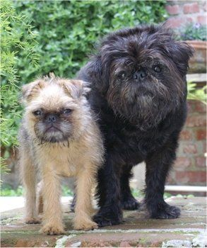 Brussels Griffon pug mix