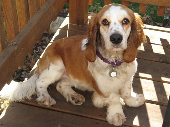 16 unreal basset hound cross breeds you have to see to believe