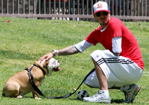 David Beckham bulldog