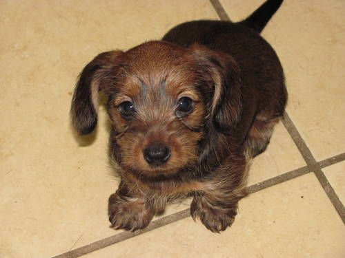 Dachshund for sale in yorkshire