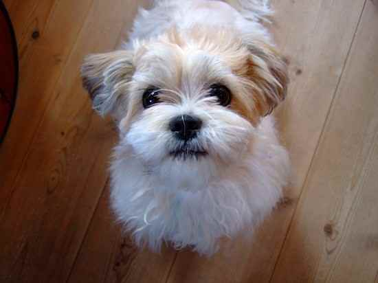 Unreal Shih Tzu Cross Breeds You Have To See To Believe
