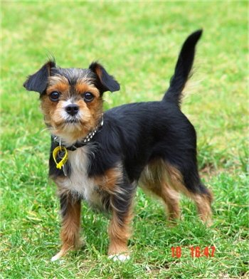 Yorkie Boston Terrier Mix Full Grown | Dog Breeds Picture