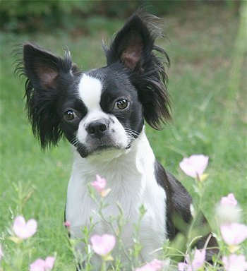 Boston terrier x poodle