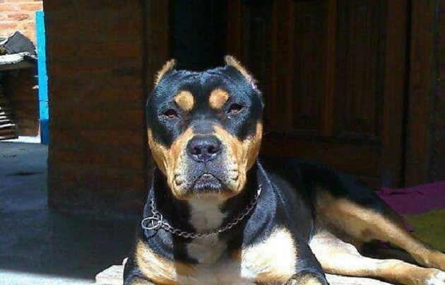 Unreal Rottweiler Cross Breeds You Have To See To Believe - Terrier and rottweiler