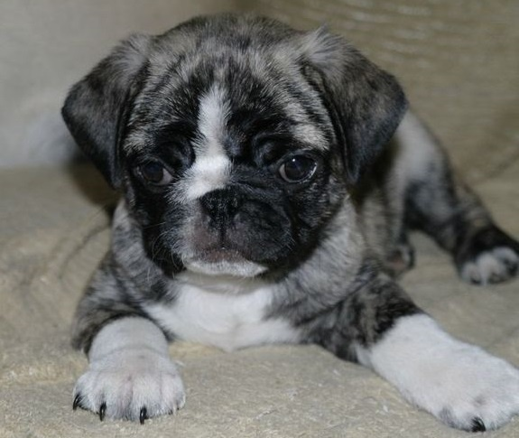 Pug and Boston Terrier mix