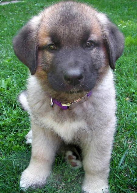 16 Unreal German Shepherd Cross Breeds You Have To See To ...