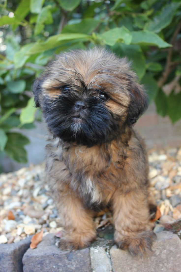 Shih Tzu cross Pug