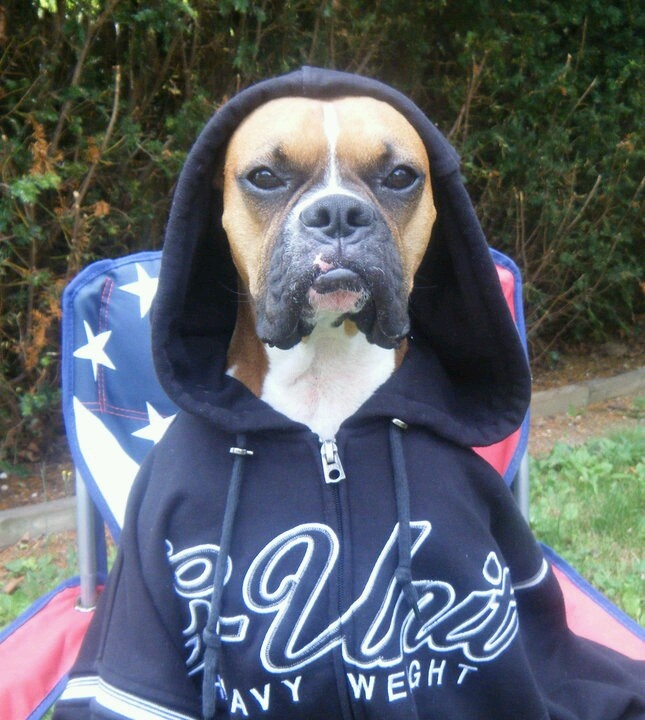 boxer dog in hoodie