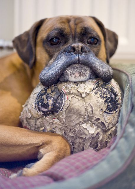 boxer dog with ball