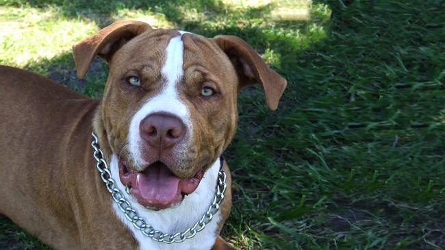 78 Most Popular Pit Bull Dog Names
