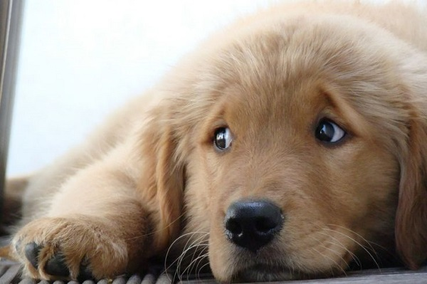 25 Reasons Golden Retrievers Are Actually The Worst Dogs ...