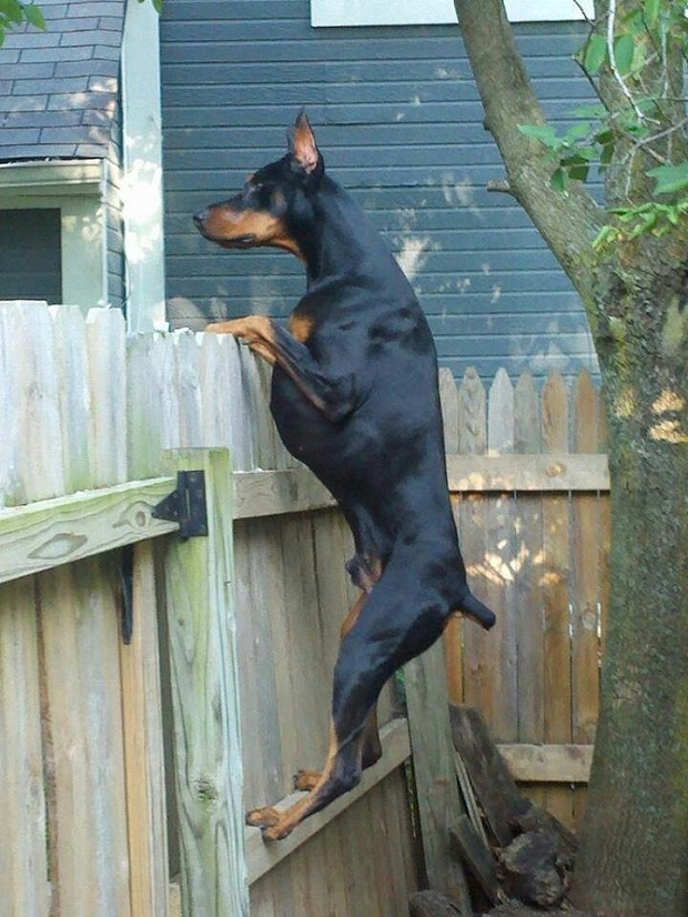 18 Reasons Dobermans Are Actually The Worst Dogs To Live With