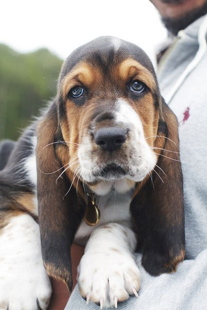 18 Reasons Basset Hounds Are Actually The Worst Dogs To ...