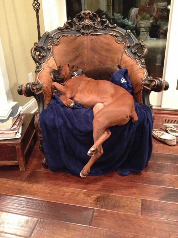 sleeping boxer arm chair