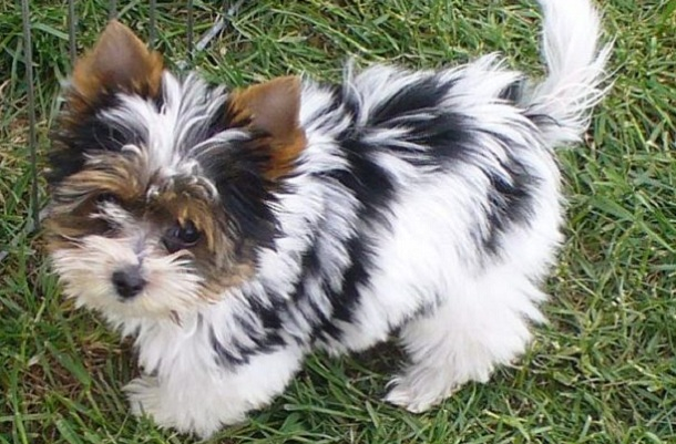 Unreal Yorkshire Terrier Cross Breeds You Have To See