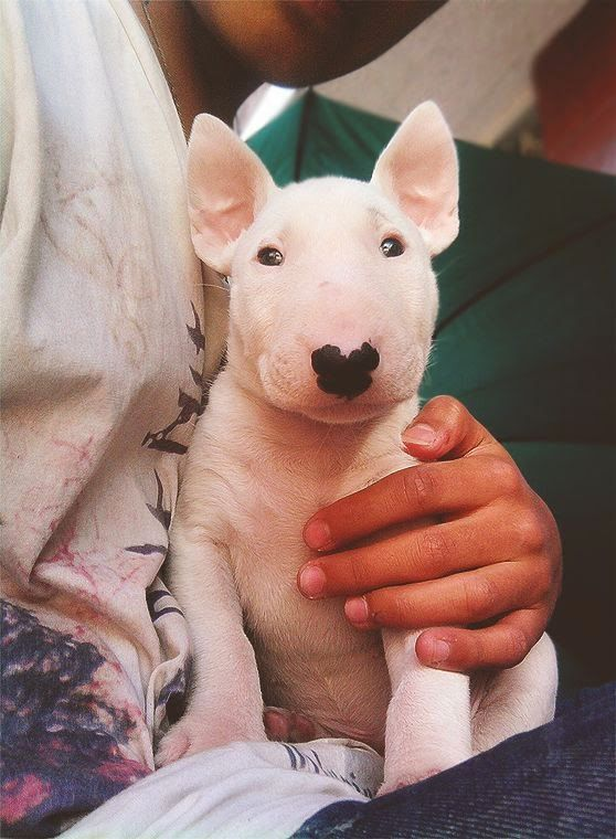 Bull Terrier cute puppy
