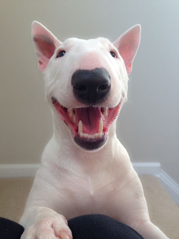 Bull Terrier teeth