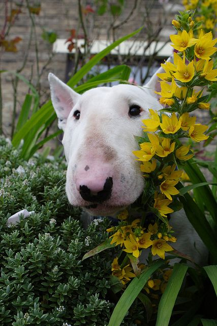 Bull Terrier watching