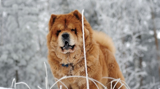 Chow Chow cute wallpaper