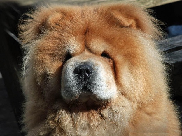 Chow Chow face closeup