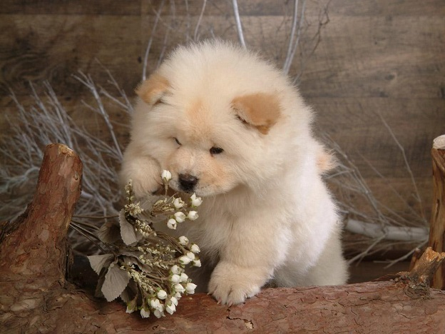 Chow Chow white dog flower