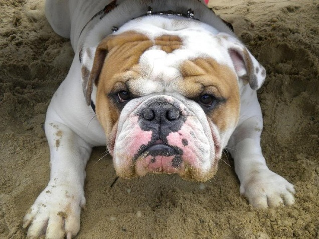 The gallery for --> Angry Bulldog Puppy