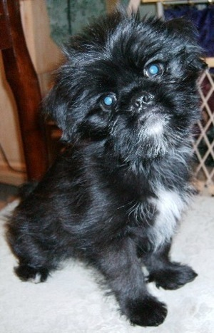 27 Unreal Pekingese Cross Breeds You Have To See To Believe