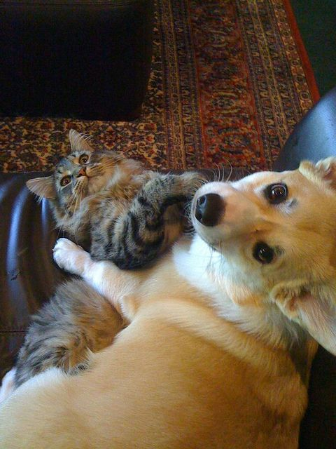 Maine Coon and dog