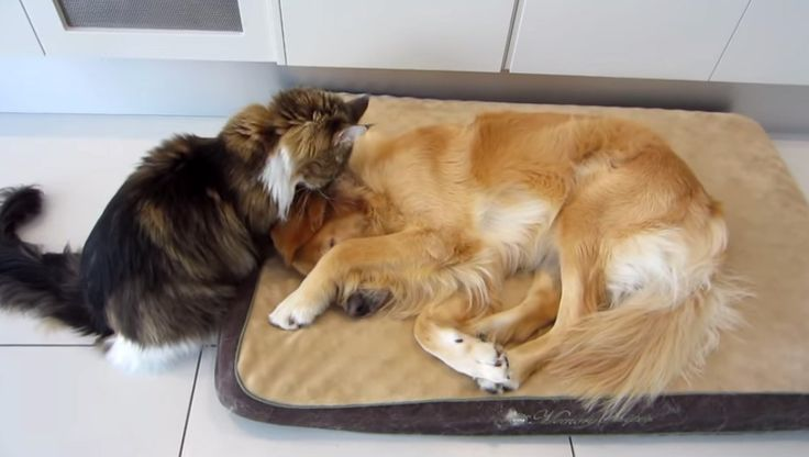 Maine Coon cat and dog