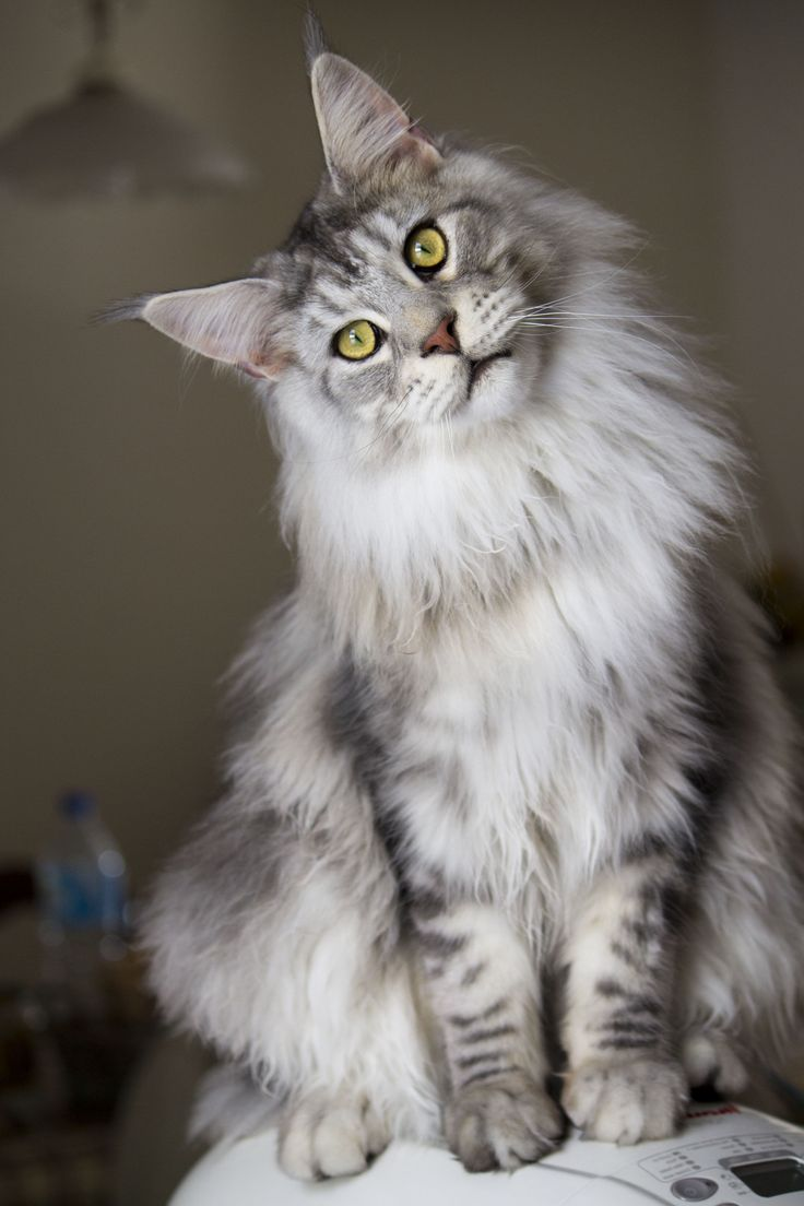 Where is maine coon from