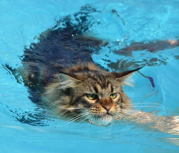 Maine Coon swimming