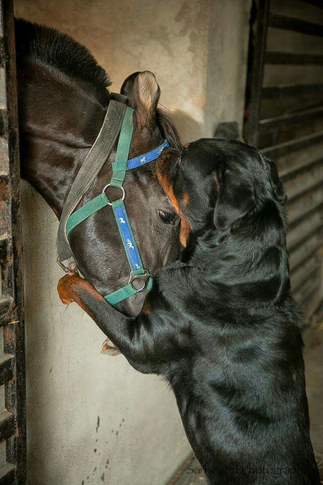 Rottweiler and horse friends