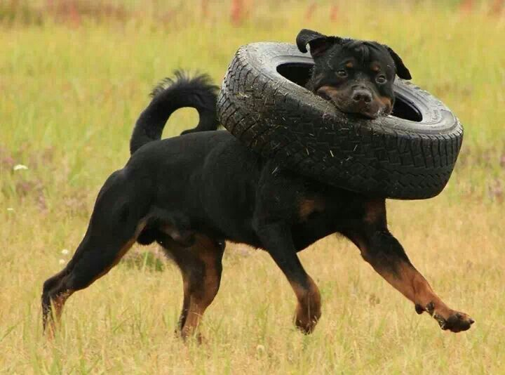 Rottweiler and tire