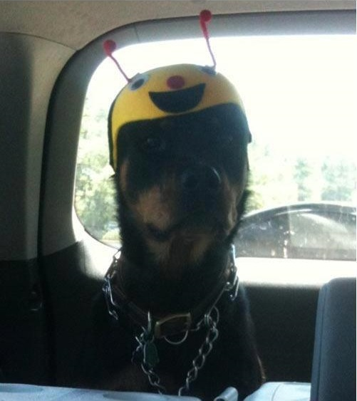 Rottweiler hat funny