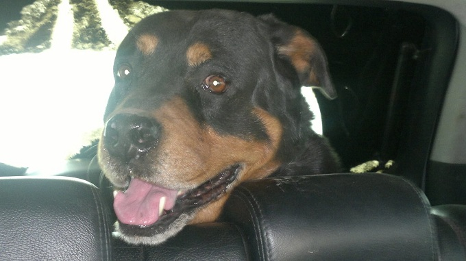 Rottweiler in car