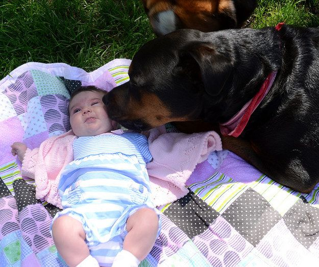 Rottweiler kissing baby