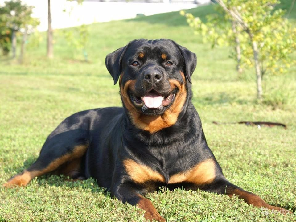Rottweiler on grass