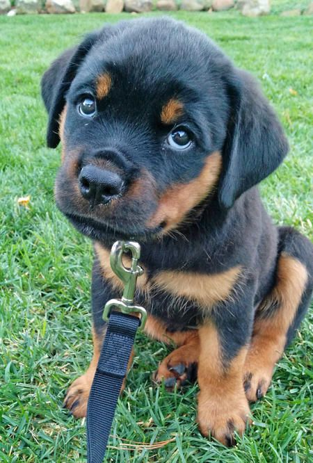 Reasons Rottweilers Are The Worst Indoor Dog Breeds Of All Time - Page ...