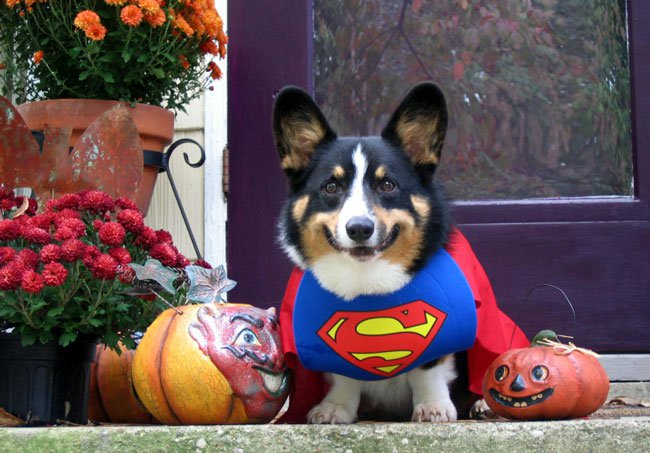 33 costumes that prove corgis always win at halloween