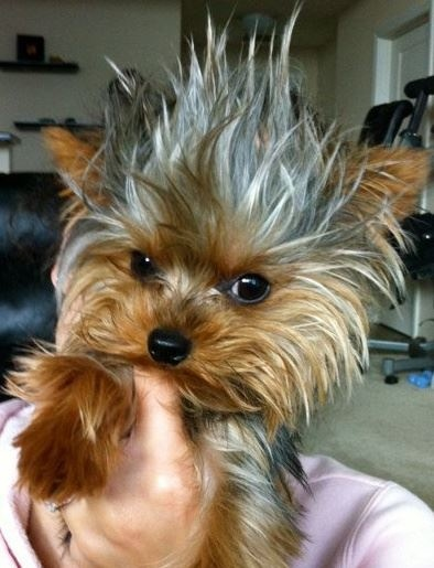Hairstyles For Male Yorkies Tuny For