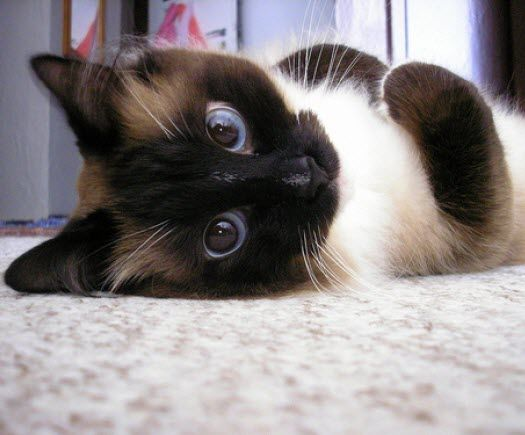 awesome eyes siamese cat