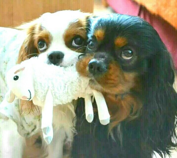 charles spaniel faces toy