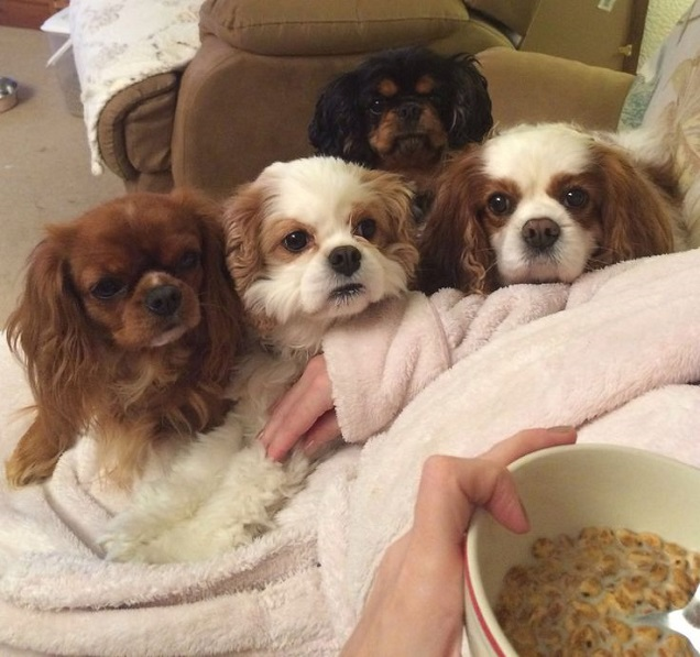 charles spaniels faces food funny