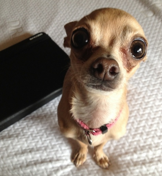 14 Reasons Chihuahuas Are The Worst Indoor Dog Breeds Of All Time 1