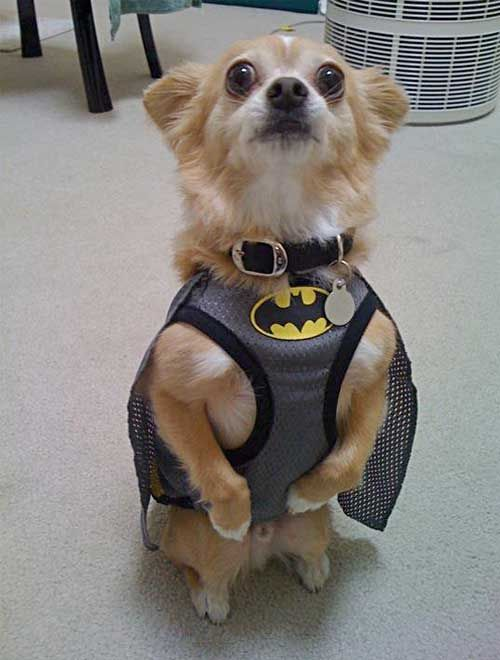 how to tell if your dog is batman