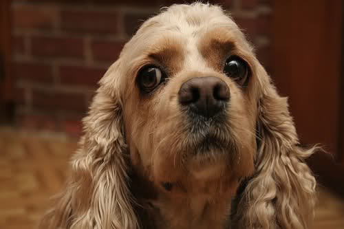 16 Reasons Cocker Spaniels Are The Worst Indoor Dog Breeds