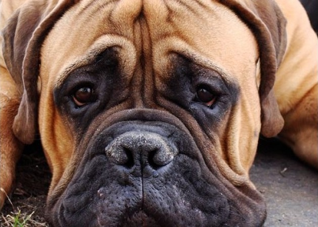 15 Reasons Mastiffs Are Not The Friendly Dogs Everyone ...
